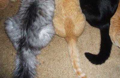 У кота шишка под хвостом