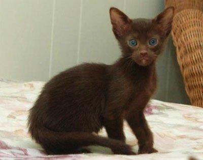 фото гавана кот