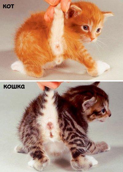 как различить пол котят фото