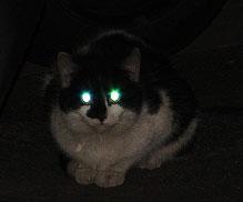 у кота светится тапетум