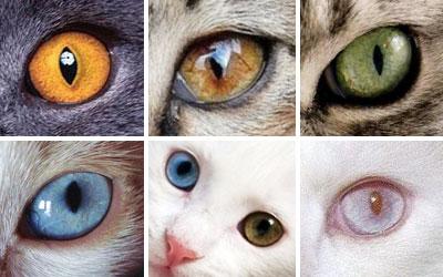цвет глаз у котов