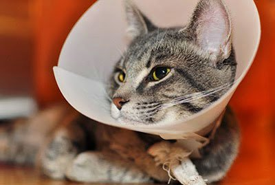 После кастрации кота сколько нужно носить воротник