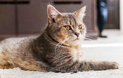 Сколько дней коту носить воротник после кастрации