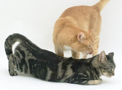 спаривание кота и самки