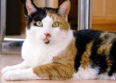 кошка трёхшёрстная