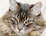 пироплазмоз у кошек