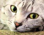 кот болеет плевритом