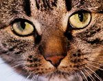 васкулит у кошек