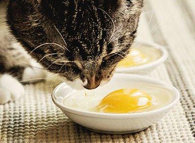 кот ест сырое яйцо