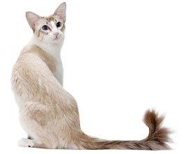 внешний вид балийской кошки