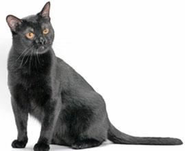 внешность бомбейской кошки