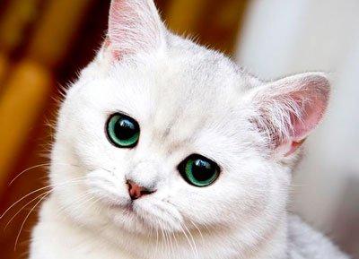 серебристая кошка с зелёными глазами