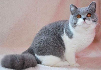 двухцветный кот