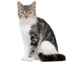европейский кот
