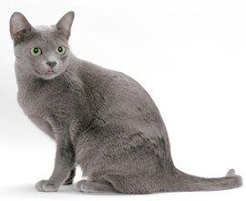 кошки породы корат описание