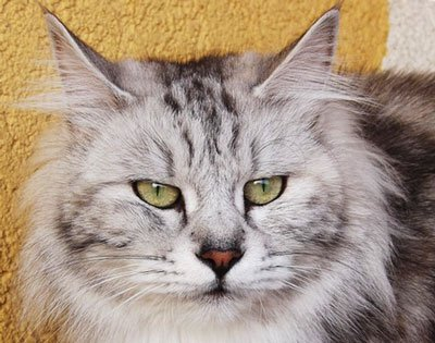 курильский кот