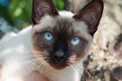 меконг кот