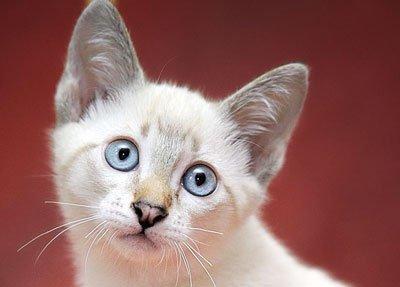 меконгский котёнок