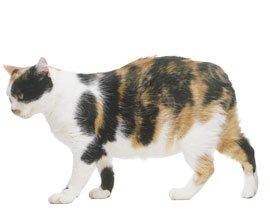 внешний вид мэнкской кошки