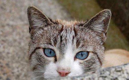 у кота голубые глаза