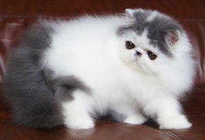 котёнок перса