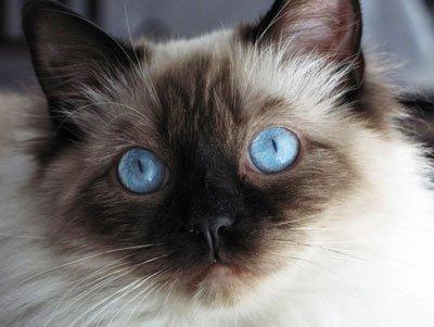 голубоглазый кот рэгдолл