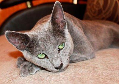 голубой кот лежит