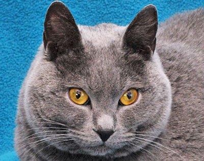 кот шартрез с жёлтыми глазами