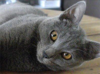 серая кошка лежит на боку