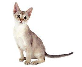 кот сингапурский