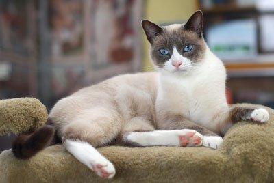 кот с сиамским окрасом