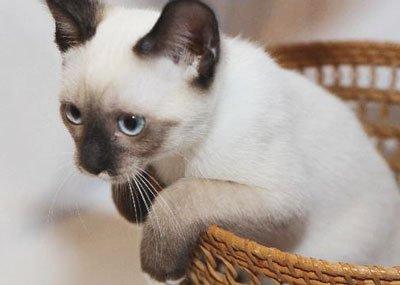 котёнок сиамского окраса