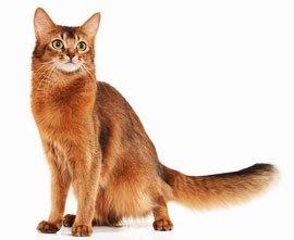 внешний вид сомалийской кошки