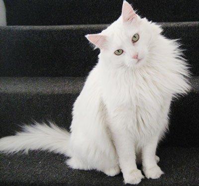 кот ангоры на ступеньке