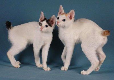 два котёнка японского бобтейла