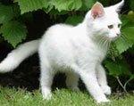 белые породы кошек