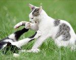 почему кошки дерутся между собой
