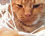 кот готовится к чистке ушей