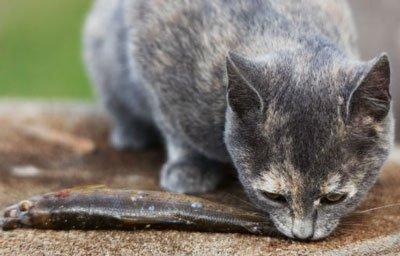кот ест рыбу